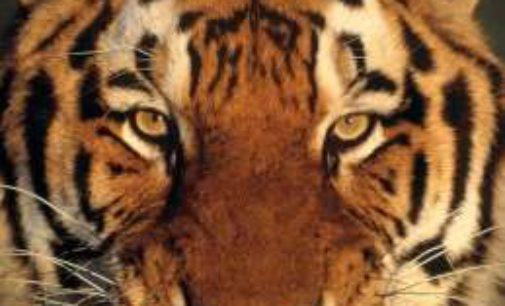 Tigers Rip Trojans, 45-25