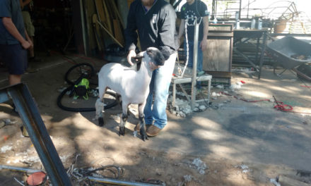 Students Prepare for Houston County Fair and Livestock Show