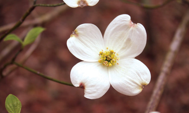 Dogwood Season Looks to be 'Spectacular'